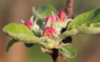 Как привить саженец яблони?