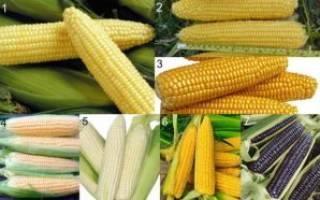 Посадка кукурузы или как получить сочные и сладкие початки?