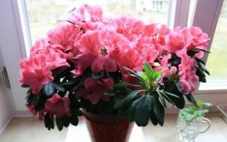 Долгоцветущие комнатные цветы