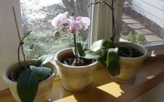 Орхидея вянет после пересадки