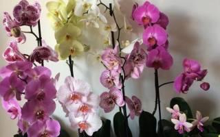 Чем орхидея отличается от фаленопсиса