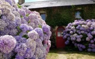 Как вырастить дома гортензию