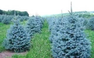 Как посадить голубую ель саженец осенью?