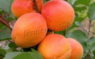Самоплодные сорта абрикоса для средней полосы