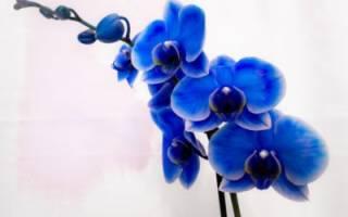 Бывают ли синие орхидеи фаленопсис