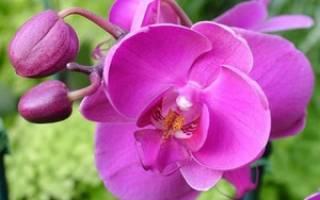 Пересадка орхидей во время цветения