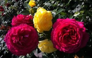 Розы выращивание саженцев из черенков