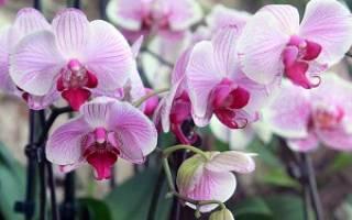 Как омолодить орхидею фаленопсис