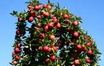Обрезка саженца яблони после посадки