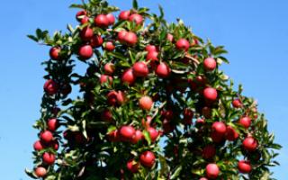Как подрезать саженец яблони?