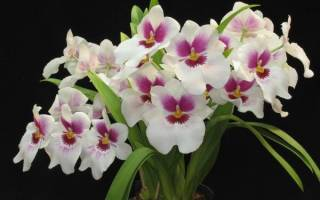 Орхидея мильтония уход в домашних