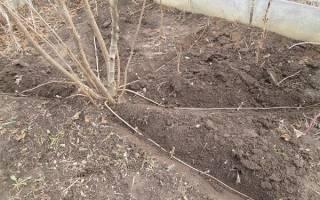 Выращивание фундука в Сибири
