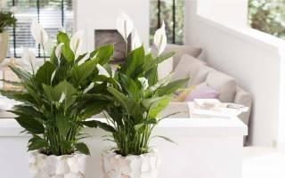Спатифиллум сенсация уход в домашних условиях