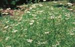 Как вырастить тмин на даче?
