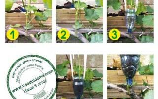 Как получить саженцы винограда?