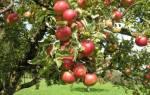 Лучшие сорта яблонь для юга России