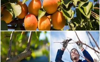 Подготовка абрикоса к зиме в средней полосе