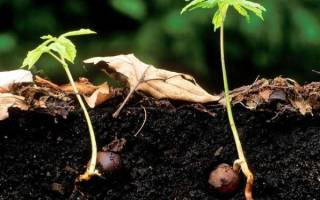 Как из каштана вырастить дерево?