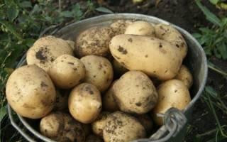 Характеристика и выращивание картофеля Чародей