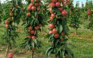Посадка саженцев колоновидной яблони