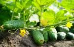 Лучшие семена огурцов для средней полосы России