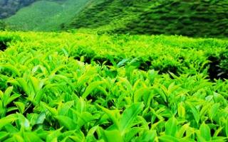 Как вырастить чай на даче?