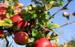 Как посадить саженец яблони осенью?