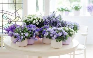 Колокольчики комнатные цветы