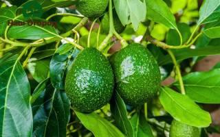 Как вырастить авокадо на даче?