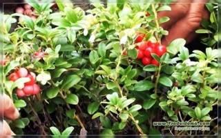 Как посадить бруснику на даче?