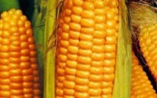 Лучшие сорта кукурузы для Сибири