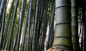 Выращивание бамбука в России