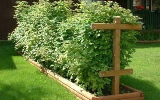 Как вырастить малину на даче?