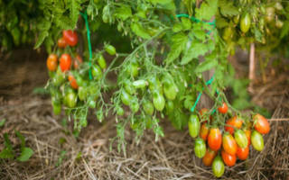 Не пасынкующие сорта томатов в Сибири