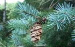Как вырастить из шишки ели дерево?