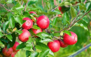 Питомники плодовых деревьев в России