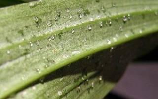 Почему у орхидеи капли липкие на листьях