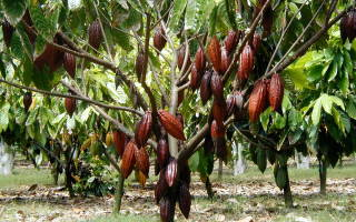 Как растет какао дерево?