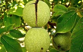 Как посадить саженец грецкого ореха осенью?