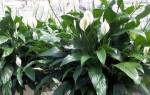Женское счастье цветок спатифиллум