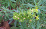 Комнатные цветы семейство молочайных