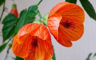 Цветок комнатный листья похожи на кленовые