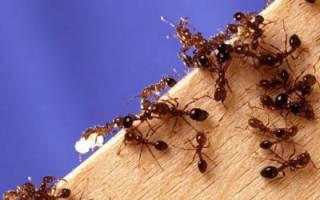 Как вывести муравьев с дачного участка?