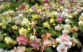 Как продлить цветение орхидеи фаленопсис дома