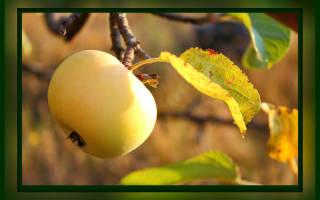 Подготовка молодой яблони к зиме в Сибири