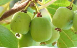 Посадка актинидии осенью саженцами