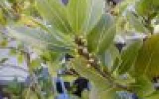 Как размножается лавровое дерево?