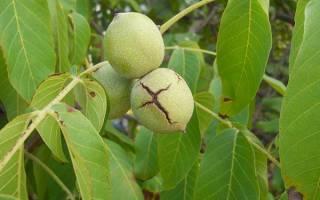 Пересадка саженцев грецкого ореха