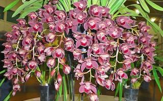 Орхидея цимбидиум как ухаживать чтобы из стрелочки появился цветок