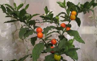 Комнатный цветок с ягодами красными
